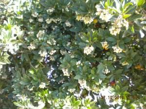 Fiori di corbezzolo. Le api ci danno il miele amaro.