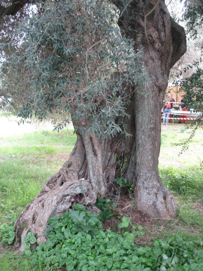 Villamassargia. S'ortu mannu. Ogni ulivo ha la sua storia.