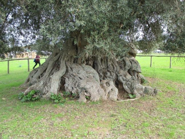 Villamassargia. Sa Reina. Il tronco misura 16 metri