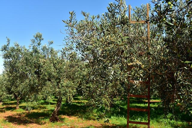 olive-trees-3803042_640